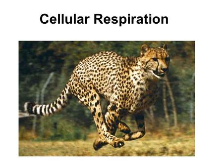"Cellular Respiration. CATABOLISM ""ENTROPY"" ENERGY FOR: ANABOLISMWORK Chemical Potential Energy."