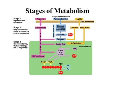 Stages of Metabolism.