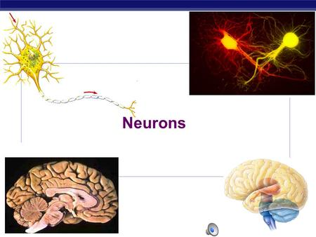 AP Biology 2007-2008 Neurons AP Biology Why do animals need a nervous system?  What characteristics do animals need in a nervous system?  fast  accurate.