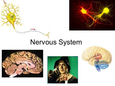 Nervous System The Excitable Cell Can be stimulated to create a tiny electric current – Muscle and nerves Why electricity? – Fast, energy efficient,