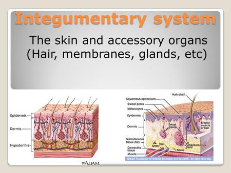 Integumentary system The skin and accessory organs (Hair, membranes, glands, etc)