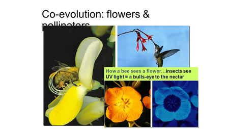 Co-evolution: flowers & pollinators How a bee sees a flower…insects see UV light = a bulls-eye to the nectar.