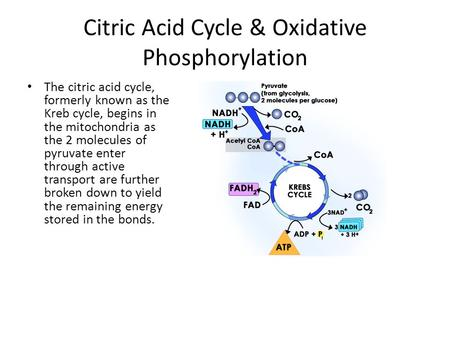Citric Acid Cycle & Oxidative Phosphorylation The citric acid cycle, formerly known as the Kreb cycle, begins in the mitochondria as the 2 molecules of.