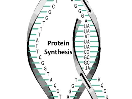 "Protein Synthesis. DNA acts like an instruction manual"" – it provides all the information needed to function the actual work of translating the information."