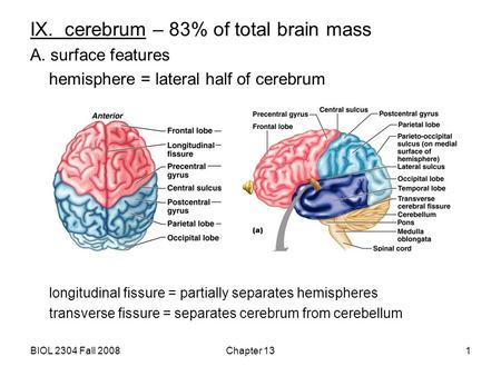 IX. cerebrum – 83% of total brain mass
