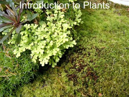 Introduction to Plants. What is a Plant? Plants provide the base for the food chain Multicellular eukaryotes that have a cell wall made of cellulose Carry.