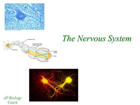 The Nervous System AP Biology Unit 6 Branches of the Nervous System There are 2 main branches of the nervous system Central Nervous System –Brain –Spinal.