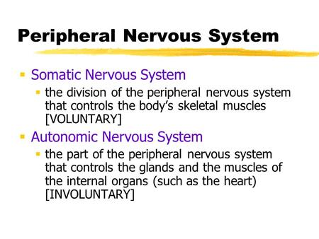 Peripheral Nervous System  Somatic Nervous System  the division of the peripheral nervous system that controls the body's skeletal muscles [VOLUNTARY]