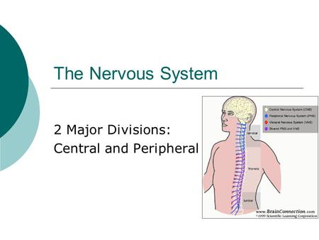 The Nervous System 2 Major Divisions: Central and Peripheral.