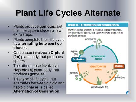 Plant Life Cycles Alternate Plants produce gametes, but their life cycle includes a few extra steps. Plants complete their life cycle by alternating between.