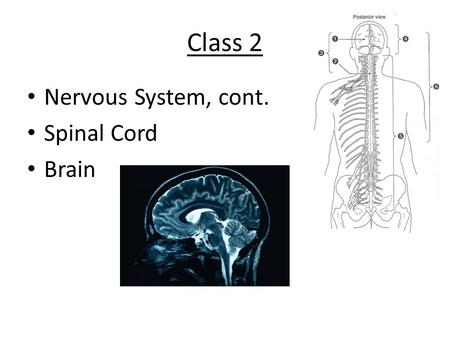 Class 2 Nervous System, cont. Spinal Cord Brain. Development of the Brain and Spinal Cord.