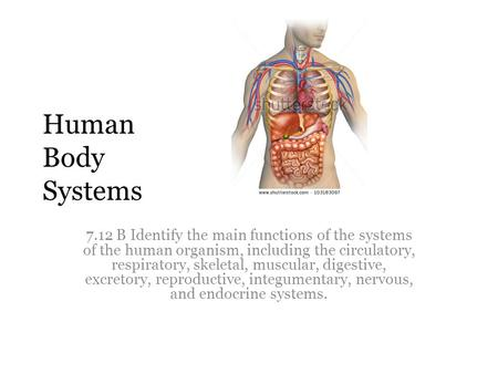 Human Body Systems 7.12 B Identify the main functions of the systems of the human organism, including the circulatory, respiratory, skeletal, muscular,