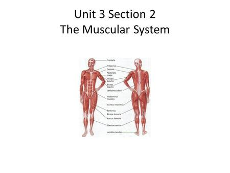 The muscular system power yeahjust like that ppt download unit 3 section 2 the muscular system the muscular system objectives i will list ccuart Images