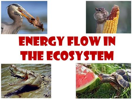 Energy Flow in the Ecosystem. Food chain – shows which organisms each which in an ecosystem.