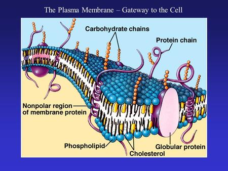 The Plasma Membrane – Gateway to the Cell