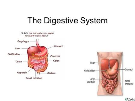 The Digestive System. Purpose of digestive system: –Converts food into small molecules that can be used by cells!! –Why do the food molecules need to.