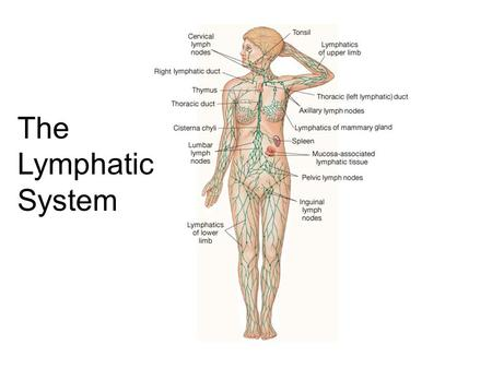 Lymphatic system ppt video online download the lymphatic system roles of the lymphatic system 1one way drainage system ccuart Gallery