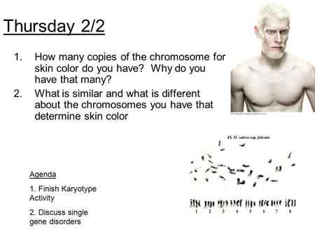 Thursday 2/2 How many copies of the chromosome for skin color do you have? Why do you have that many? What is similar and what is different about the.