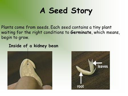 A Seed Story Plants come from seeds. Each seed contains a tiny plant waiting for the right conditions to Germinate, which means, begin to grow. Inside.