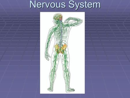 Nervous System.  1. Function – Receives and sends out info from and to the outside and inside your body.