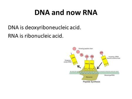 DNA and now RNA DNA is deoxyriboneucleic acid. RNA is ribonucleic acid.