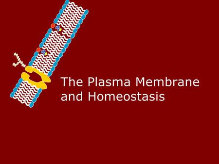 The Plasma Membrane and Homeostasis. Homeostasis – Maintaining a Balance Cells must keep the proper concentration of nutrients and water and eliminate.