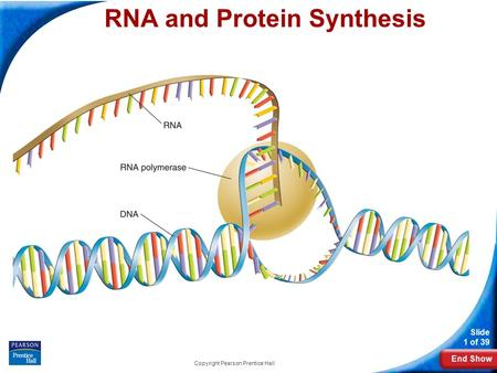End Show Slide 1 of 39 Copyright Pearson Prentice Hall 12-3 RNA and Protein Synthesis RNA and Protein Synthesis.