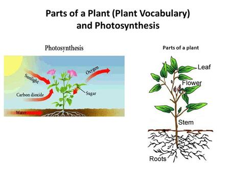 Parts of a Plant (Plant Vocabulary)