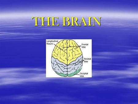 THE BRAIN. HINDBRAIN  MEDULLA controls breathing, heart rate, BP, etc reflex center for vomiting  PONS located just above the medulla controls balance,