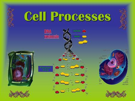 Cell Processes SUGAR BASE Phosphate Group.