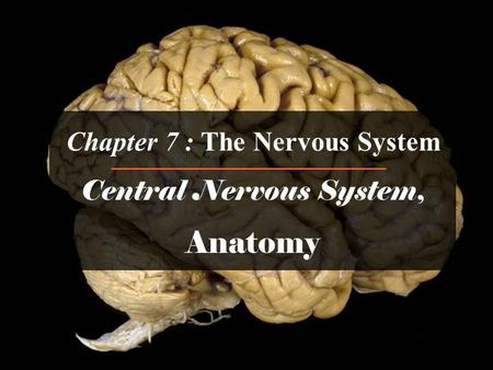 Chapter 7 : The Nervous System Central Nervous System, Anatomy.
