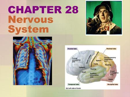 CHAPTER 28 Nervous System 28.1 Nervous systems receive sensory input, interpret it, and send out appropriate commands The nervous system has three interconnected.