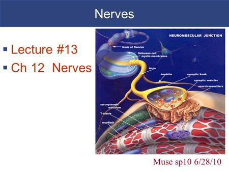 Nerves Lecture #13 Ch 12 Nerves Muse sp10 6/28/10.