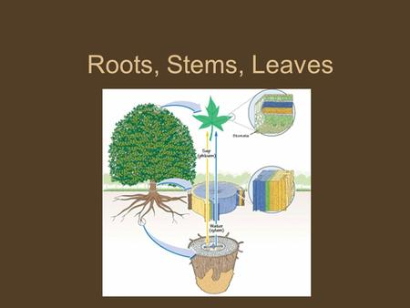 Roots, Stems, Leaves. VASCULAR TISSUES Tissues that transport materials from one part of a plant to another.