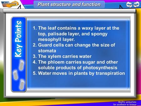 1.The leaf contains a waxy layer at the top, palisade layer, and spongy mesophyll layer. 2.Guard cells can change the size of stomata 3.The xylem carries.