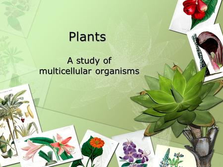 Plants A study of multicellular organisms. Cell Specialization Why do cells specialize? –Increase efficiency Division of labor –What does efficiency look.