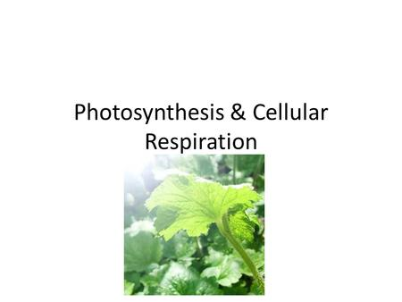 Photosynthesis & Cellular Respiration. Characteristics of Plant Cells Cell wall Large vacuole for water storage Contain Chloroplast (carry out photosynthesis!)