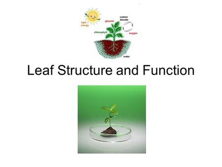 Leaf Structure and Function. Basic functions 1. Photosynthesis: process which plants use the energy from sunlight to produce sugar (for themselves) 2.
