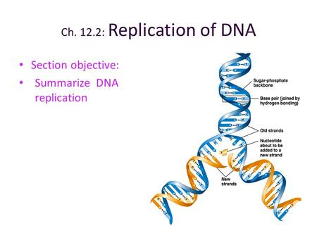 Ch. 12.2: Replication of DNA Section objective: