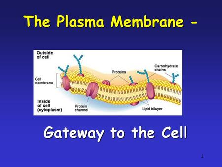 1 The Plasma Membrane The Plasma Membrane - Gateway to the Cell.