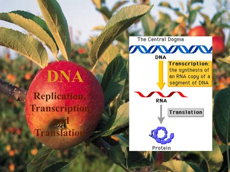 DNA Replication, Transcription and Translation Structure of DNA and RNA DNA Deoxyribonucleic Acids are nucleotides made of: –Base pairs (Adenine, Thymine,