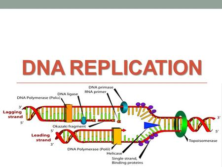 DNA REPLICATION. What does it mean to replicate? The production of exact copies of complex molecules, such as DNA molecules, that occurs during growth.