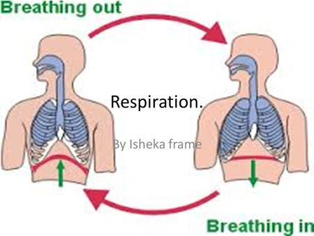 Respiration. By Isheka frame. mitochondria Mitochondria are structures in cells where respiration happens. Respiration is the process that releases energy.