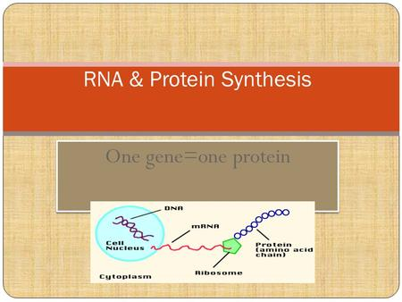 One gene=one protein RNA & Protein Synthesis. Genetic Code -Universal All living organisms have the same four nucleotides- A, C, T, & G Central Dogma: