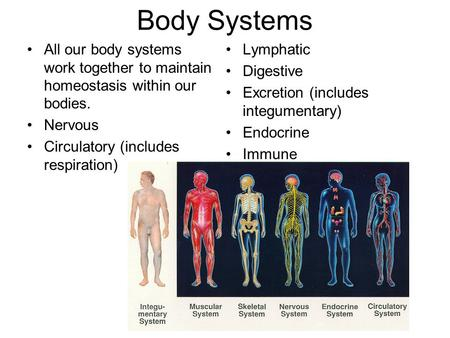 Body Systems All our body systems work together to maintain homeostasis within our bodies. Nervous Circulatory (includes respiration) Lymphatic Digestive.