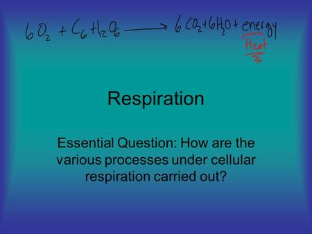 Respiration Essential Question: How are the various processes under cellular respiration carried out?