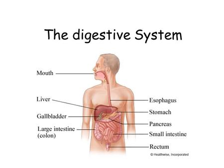 The Digestive System. - ppt video online download