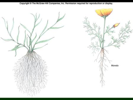 Specialized Roots Food Storage Roots Sweet Potatoes Water Storage Roots Pumpkin Family Propagative Roots Adventitious Buds  sc 1 st  SlidePlayer & Roots Chapter 5 Copyright © McGraw-Hill Companies Permission - ppt ...