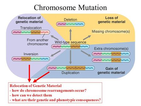 <strong>Chromosome</strong> Mutation Relocation of Genetic Material - how do <strong>chromosome</strong> rearrangements occur? - how can we detect them - what are their genetic and phenotypic.