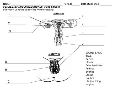 Male and female reproductive systems male reproductive system internal external word bank anus cervix ccuart
